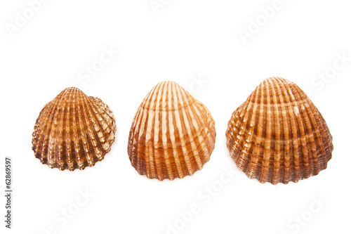 seashells isolated on white background, crustaceans