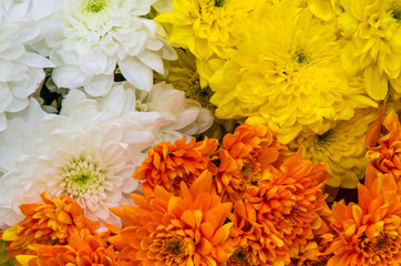 colorful chrysanthemum