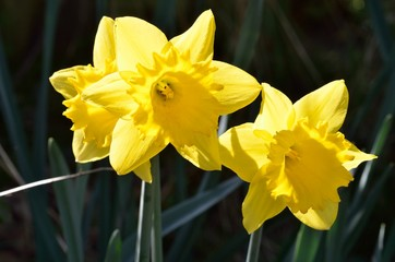 Pair of Daffodils close up