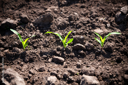 Corn sprouts - 62872130