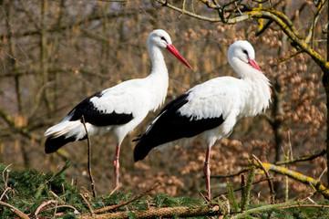 Storch, Störche, Paar, zwei, stehend, weiß, schwarz