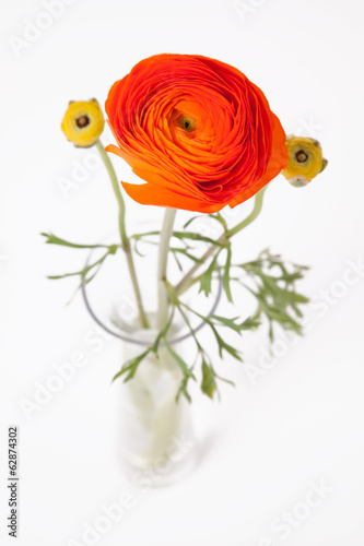 Orange Buttercup in glass vase on white background