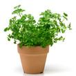鉢植えのパセリ