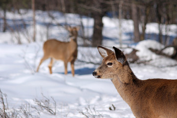 White-tail deer in snow