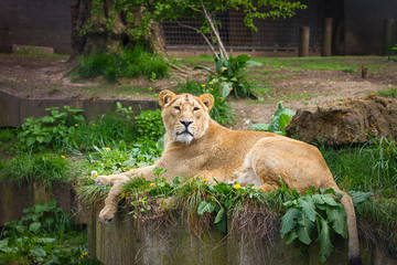 Lovely lioness