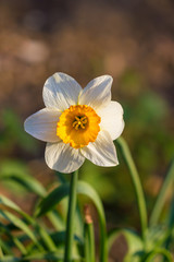 Daffodil narcissus spring flowers