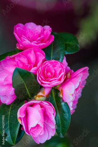 Plexiglas Roze blossom tree