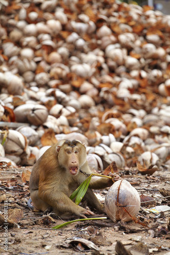 old monkey and dry coconut in thailand