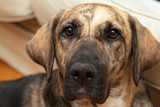 Dog look, funny dog in in home - enhanced colors, shallow DOF poster