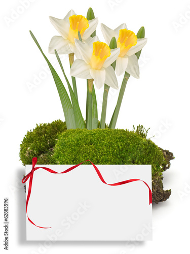 Moss and daffodils isolated on white