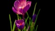 Flowers, purple crocuses bloom. Spring awakening.