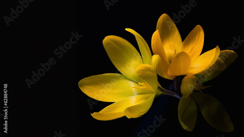 Yellow crocuses bloom. Time lapse