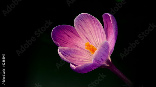 Flowers, purple crocuses bloom