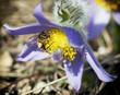 Little bee pollinate pulsatilla flower