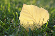 Yellow leaf with back lit