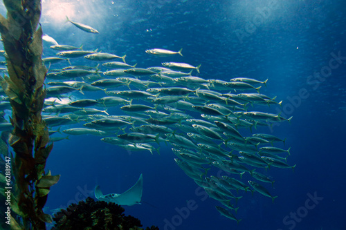 Shoal of mackerel