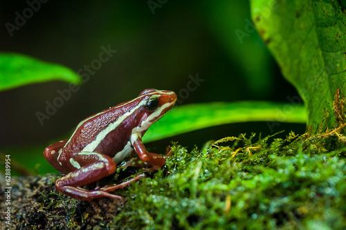 Foto op Plexiglas Kikker Grenouille epidobate tricolore