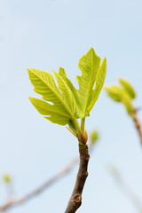 young fig leaves