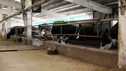 Holstein dairy cows feeding
