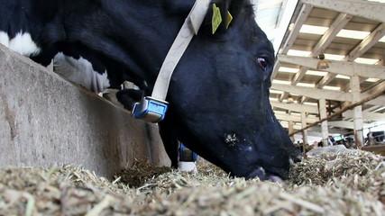 Holstein dairy cows feeding