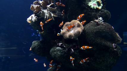 Clown fishes and zebrasoma yellow fish in aquarium