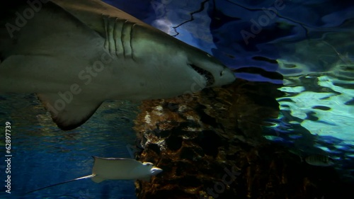 Tiger sand shark with big jaws in underwater