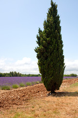 Cypress in front of lavender field, Provence, France.