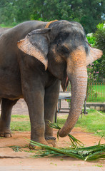 Indian elephant eats plants and waving ears