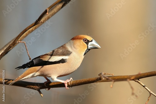 Male Hawfinch on a branch