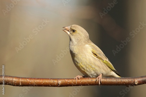 Female Greenfinch (Carduelis chloris) on a twig