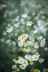 An image of a beautiful daisy flowers  Filtered Images