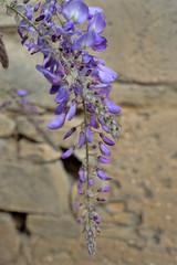Glycine en fleur