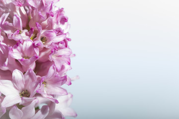 Pink Hyacinth on white