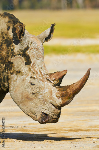 portrait of white rhino at Nakuru National Park in Kenya