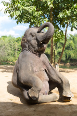 Elefant sitting outdoor vertical shot