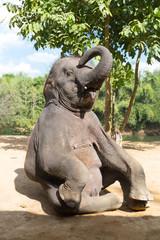 Elefant sitting outdoor vertical shot