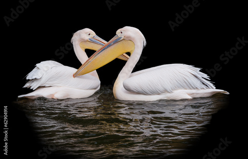Pair of pelicans isolated on black