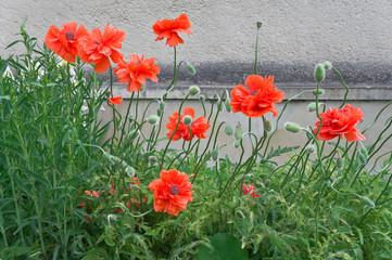 Poppies against the wall