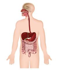 Verdauungsorgane des Menschen