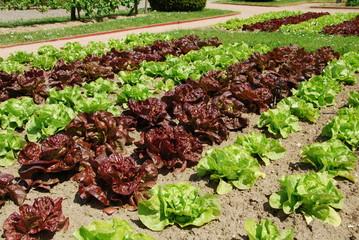 Salades en potager