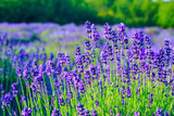 Fototapety Lavender field in the summer