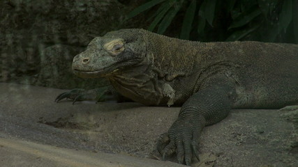 The Komodo dragon (Varanus komodoensis) also known as the Komodo