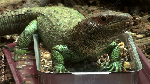 Caiman lizard,Dracaena guianensis , The Northern Caiman Lizard i