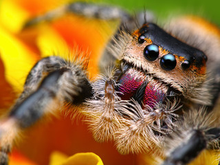 Jumping spider Phidippus regius with nice colorful background