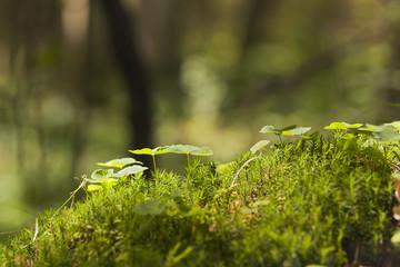 Wood sorrel, Oxalis acetosella growing among moss