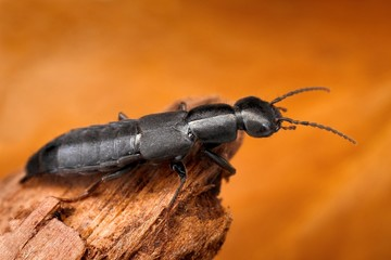 Sharp macro image of rove beetle with blurred background