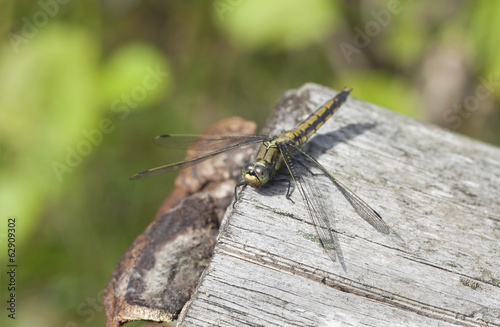 Black-tailed skimmer, Orthetrum cancellatum