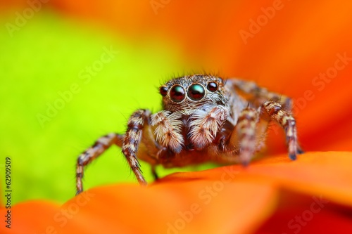 Arabian jumping spider close up