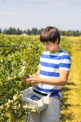 Boy picking  blueberries on a farm.
