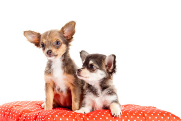 two small Chihuahua puppies.  Chihuahua dog on red pillow isolat